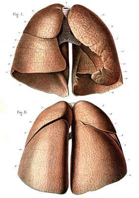 Airways Photograph - Lung Anatomy by Collection Abecasis
