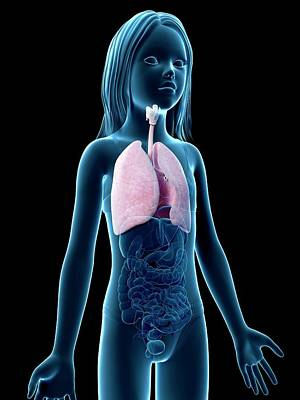 Airways Photograph - Lungs Of Girl by Sebastian Kaulitzki
