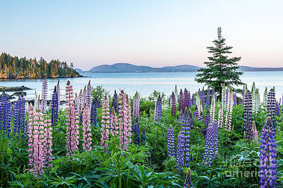 Photograph - Lupine Dawn by Susan Cole Kelly