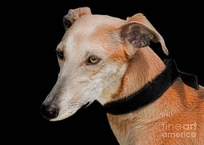 Greyhound Photograph - Lurcher by Linsey Williams