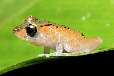 Eleutherodactylus Photograph - Luscombe's Rain Frog by Dr Morley Read