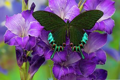 Blue Swallowtail Photograph - Luzon Peacock Swallowtail Butterfly by Darrell Gulin
