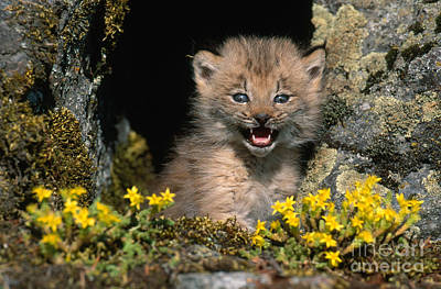 Photograph - Lynx Kitten by Jeffrey Lepore