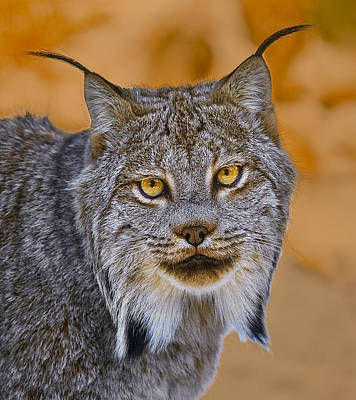 Print featuring the photograph Lynx by Steve Zimic