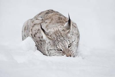 Lynx Wild Cat Art Print by Andy Astbury