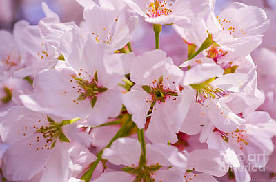 Photograph - Macro Dc Cherry Blossoms 2 by Jeff at JSJ Photography