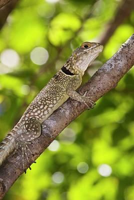 Iguana Wall Art - Photograph - Madagascar Spiny-tailed Iguana by Philippe Psaila/science Photo Library