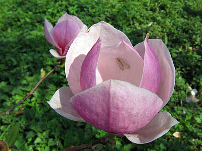 Photograph - Magnolia 1 by Helene U Taylor