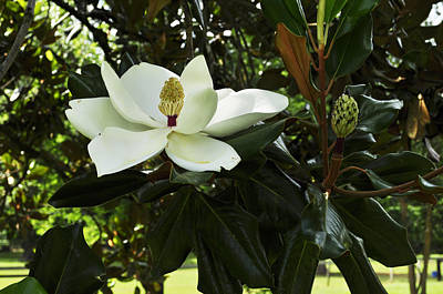 Photograph - Magnolia 2 by Terry Sita