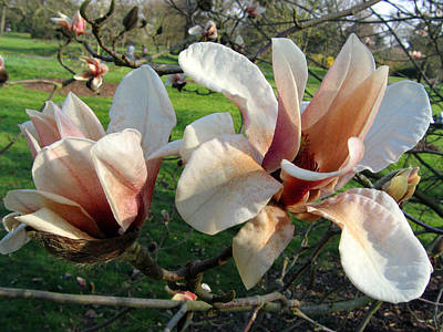 Photograph - Magnolia 3 by Helene U Taylor