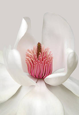 Flower Photograph - Magnolia by Brian Haslam