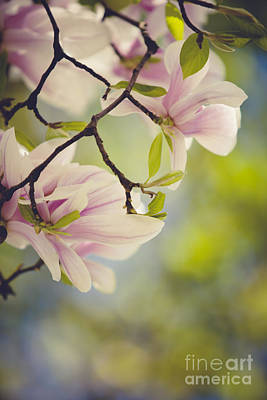 Spring Branch Photograph - Magnolia Flowers by Nailia Schwarz