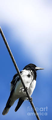 Magpies Photograph - Magpie Up High by Jorgo Photography - Wall Art Gallery