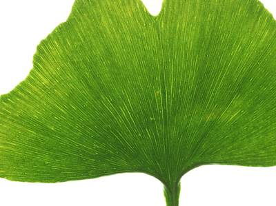 Gingko Wall Art - Photograph - Maidenhair Leaf by Science Photo Library