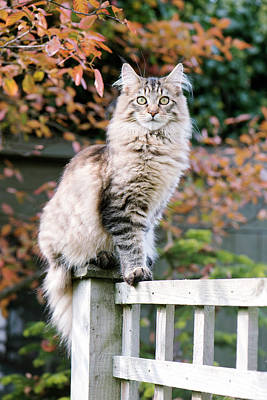 Tabby Photograph - Maine Coon Cat by Louise Murray