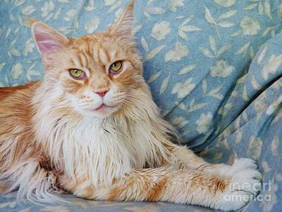 Photograph - Maine Coon by Judy Via-Wolff