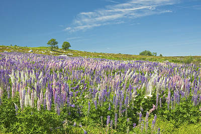Maine Meadow Photograph - Maine Wild Lupine Flowers by Keith Webber Jr