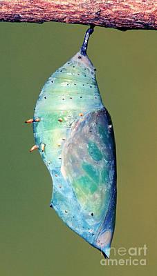 Malachite Butterfly Art Print by Millard H. Sharp