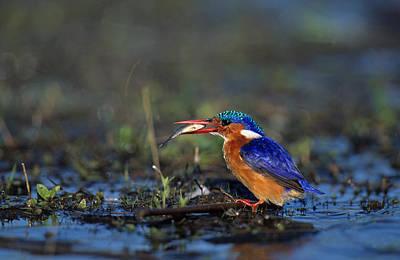 Photograph - Malachite Kingfisher by Nigel Dennis
