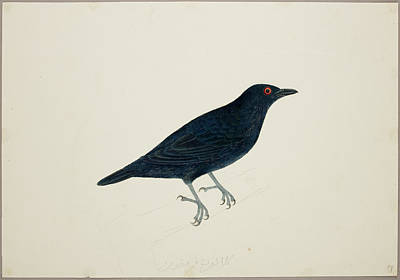 Starlings Photograph - Malay Glossy Starling by British Library