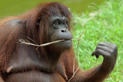 Orangutan Photograph - Malaysia, Borneo, Sabah, Kota Kinabalu by Cindy Miller Hopkins