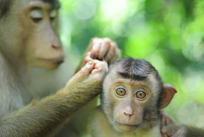 Monkey Photograph - Malaysia, Borneo, Sepilok, Southern by Anthony Asael