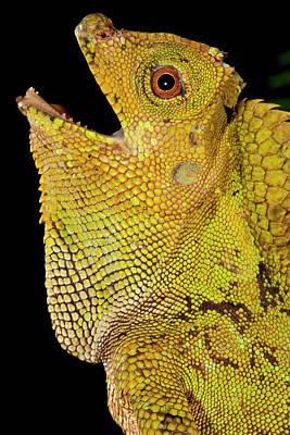 Malaysian Crested Dragon Lizard Art Print by David Northcott