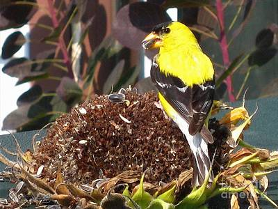 Digital Sunflower Painting - Male American Goldfinch by J McCombie