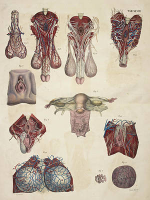 Male And Female Reproductive Organs Art Print by British Library