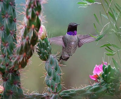 Chin Up Photograph - Male Black-chinned Hummingbird by Tim Fitzharris