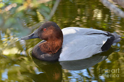 Photograph - Male Canvasback Duck by Kathy Baccari