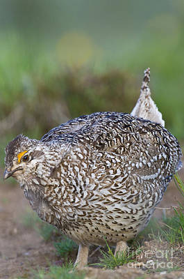 Male Columbian Sharp-tailed Grouse Art Print by William H. Mullins