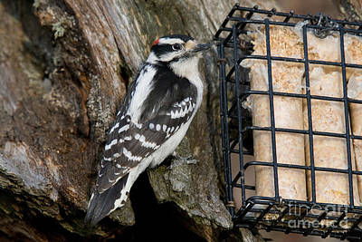 Male Hairy Woodpecker Art Print by Linda Freshwaters Arndt
