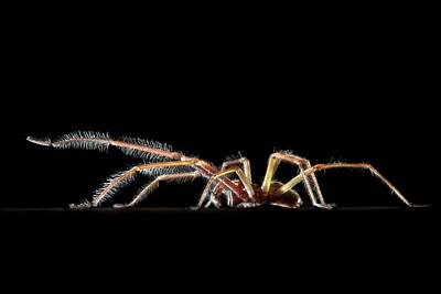 Male House Spider Art Print by Alex Hyde
