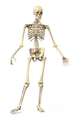 Digital Art - Male Human Skeleton In Dynamic Posture by Leonello Calvetti