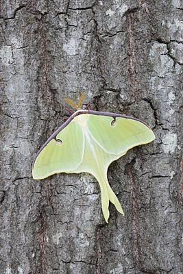 Photograph - Male Luna Moth by Jeffrey Lepore