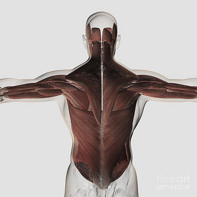 External Oblique Muscles Digital Art - Male Muscle Anatomy Of The Human Back by Stocktrek Images