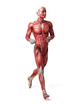Biomedical Illustration Photograph - Male Muscular System by Sebastian Kaulitzki