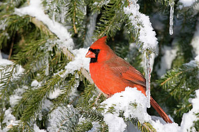 Male Northern Cardinal Photograph - Male Northern Cardinal Cardinalis by Panoramic Images