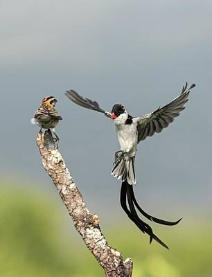 Male Pin-tailed Whydah In Mating Display Art Print by Tony Camacho