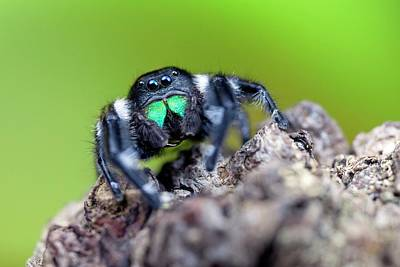 Iridescent Photograph - Male Regal Jumping Spider by Alex Hyde