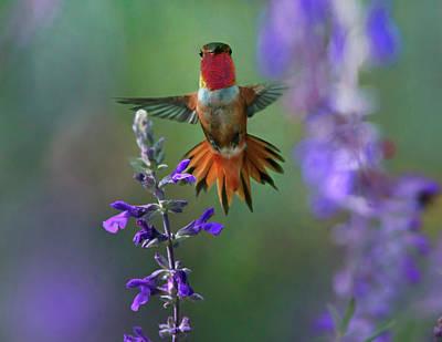 Rufous Photograph - Male Rufous Hummingbird (selasphorus by Tim Fitzharris