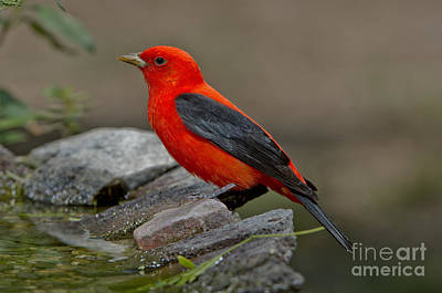 Us Fauna Photograph - Male Scarlet Tanager by Anthony Mercieca