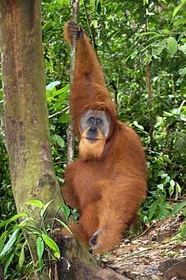 Orangutan Wall Art - Photograph - Male Sumatran Orangutan by Tony Camacho/science Photo Library