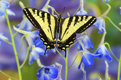 Delphinium Photograph - Male Western Tiger Swallowtail by Darrell Gulin