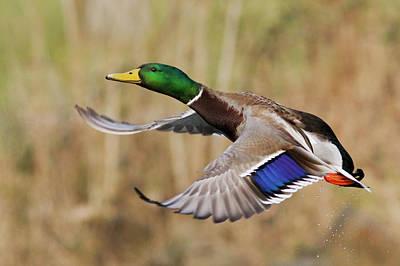 Drake Photograph - Mallard Drake Taking Flight by Ken Archer
