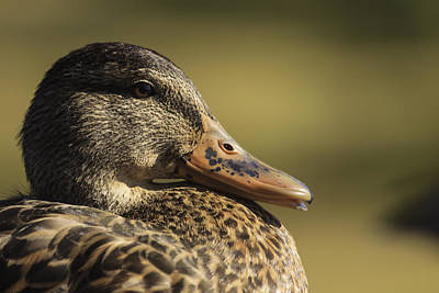Photograph - Mallard Duck by Josef Pittner