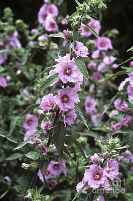 Lavatera Flowers Photograph - Mallow Lavatera Olbia Pink Frills by Adrian Thomas