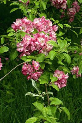 Cultivar Photograph - Malus X Micromalus Flowers by Adrian Thomas