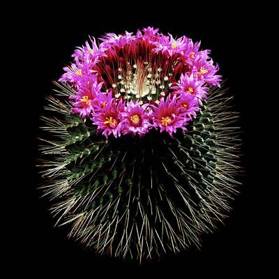 Cactus Flowers Photograph - Mammillaria Spinosissima In Flower by Gilles Mermet